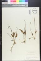 Image of Ophioglossum thermale