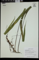Image of Campyloneurum asplundii