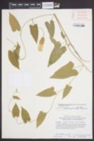 Calystegia catesbeiana image