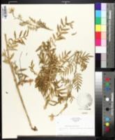 Polemonium foliosissimum var. alpinum image