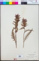 Pedicularis densiflora image
