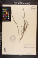 Phyllanthus caroliniensis image