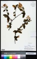Malus coronaria image