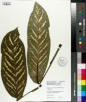 Image of Dieffenbachia maculata