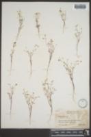 Gilia filiformis image