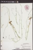 Lobelia nuttallii image