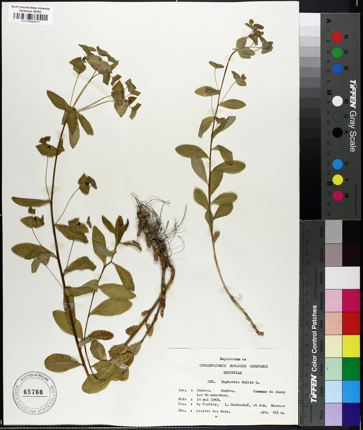 Euphorbia dulcis image