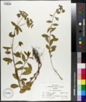 Image of Euphorbia dulcis
