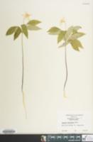 Image of Anemone lancifolia