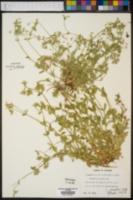 Cerastium nutans image