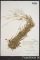 Dichanthelium tenue image