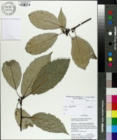 Image of Castanopsis sclerophylla