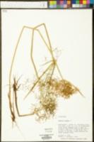 Cyperus haspan image