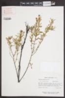 Hypericum adpressum var. spongiosum image