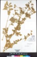 Apium graveolens image