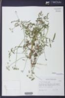 Torilis arvensis subsp. arvensis image