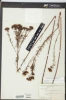 Petalostemon caroliniensis image