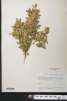 Buxus sempervirens image