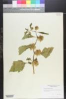 Image of Solanum melanocerasum