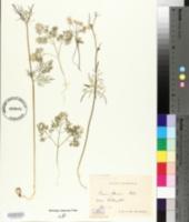 Conopodium majus image