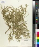 Image of Euclidium syriacum