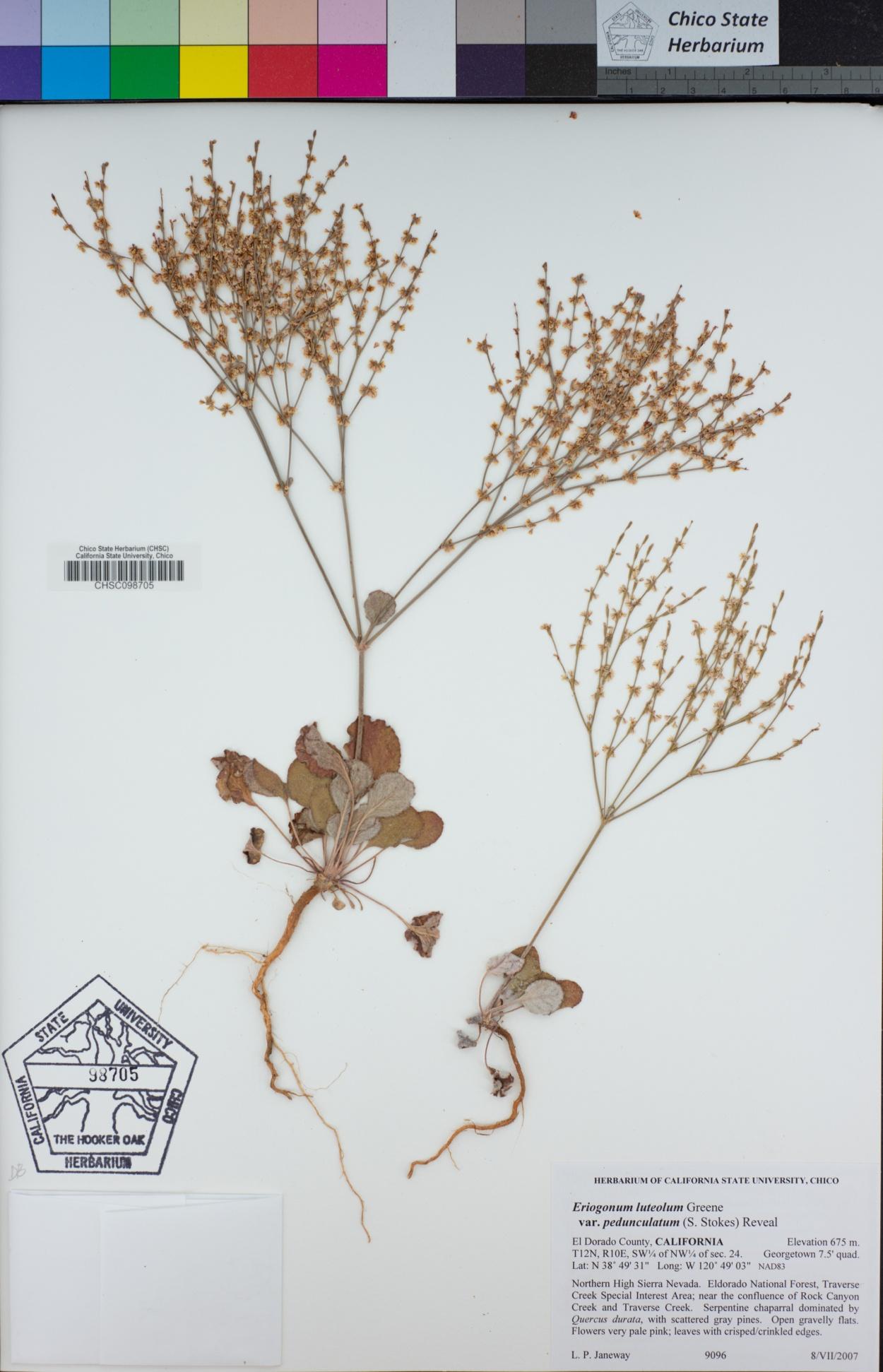 Eriogonum luteolum var. pedunculatum image