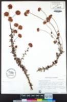 Eriogonum parvifolium image