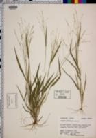 Panicum lithophilum image