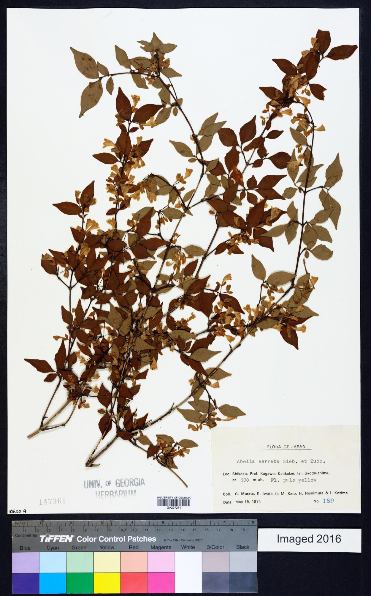 Diabelia image