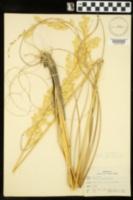 Uniola paniculata image