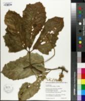 Image of Psiguria triphylla
