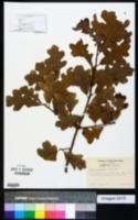 Quercus margarettiae image