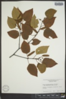 Image of Betula caerulea