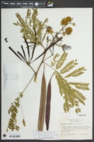 Leucaena leucocephala subsp. leucocephala image