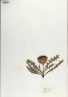 Image of Cirsium acaule