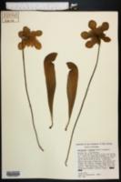 Image of Sarracenia x formosa