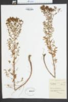 Hypericum perfoliatum image