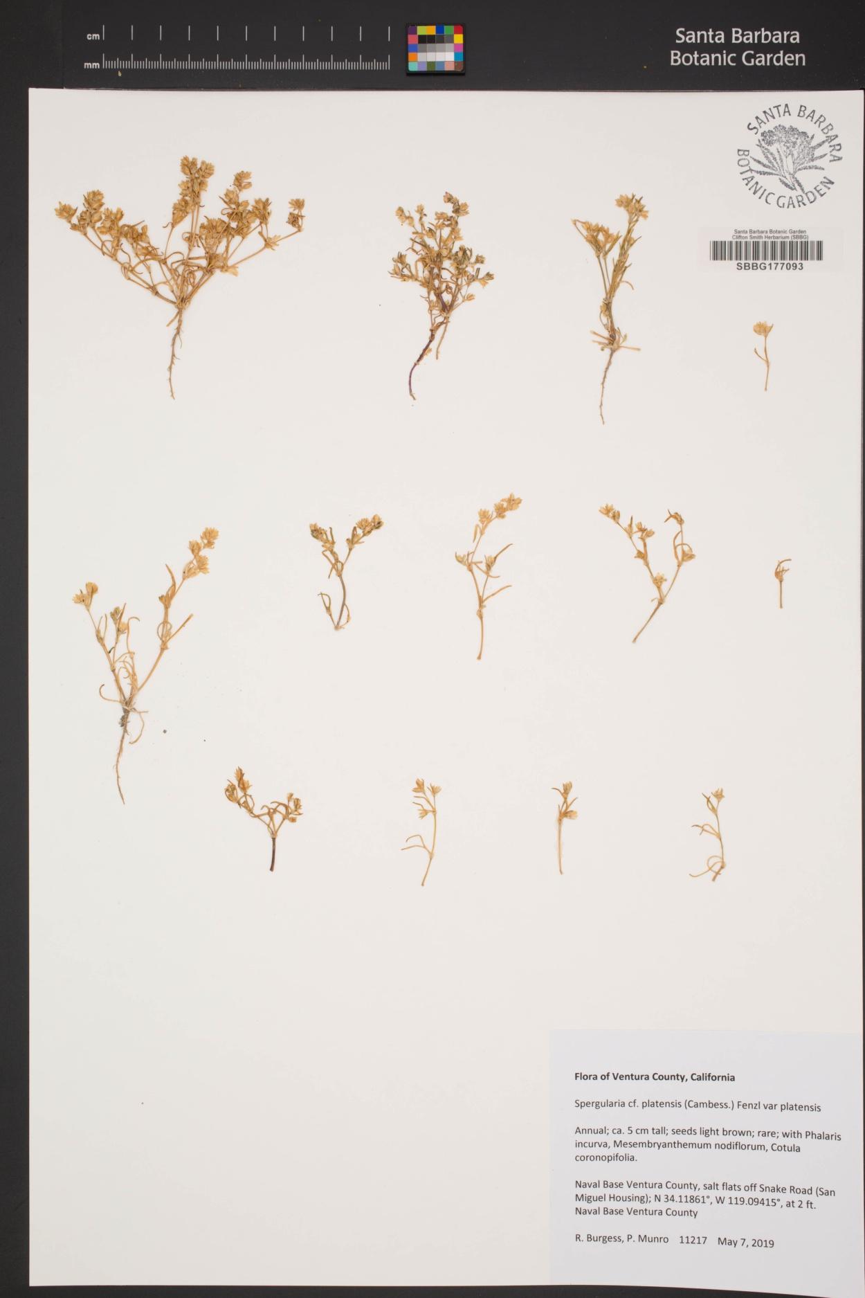 Spergularia platensis var. platensis image