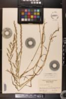 Image of Lolium x festucaceum