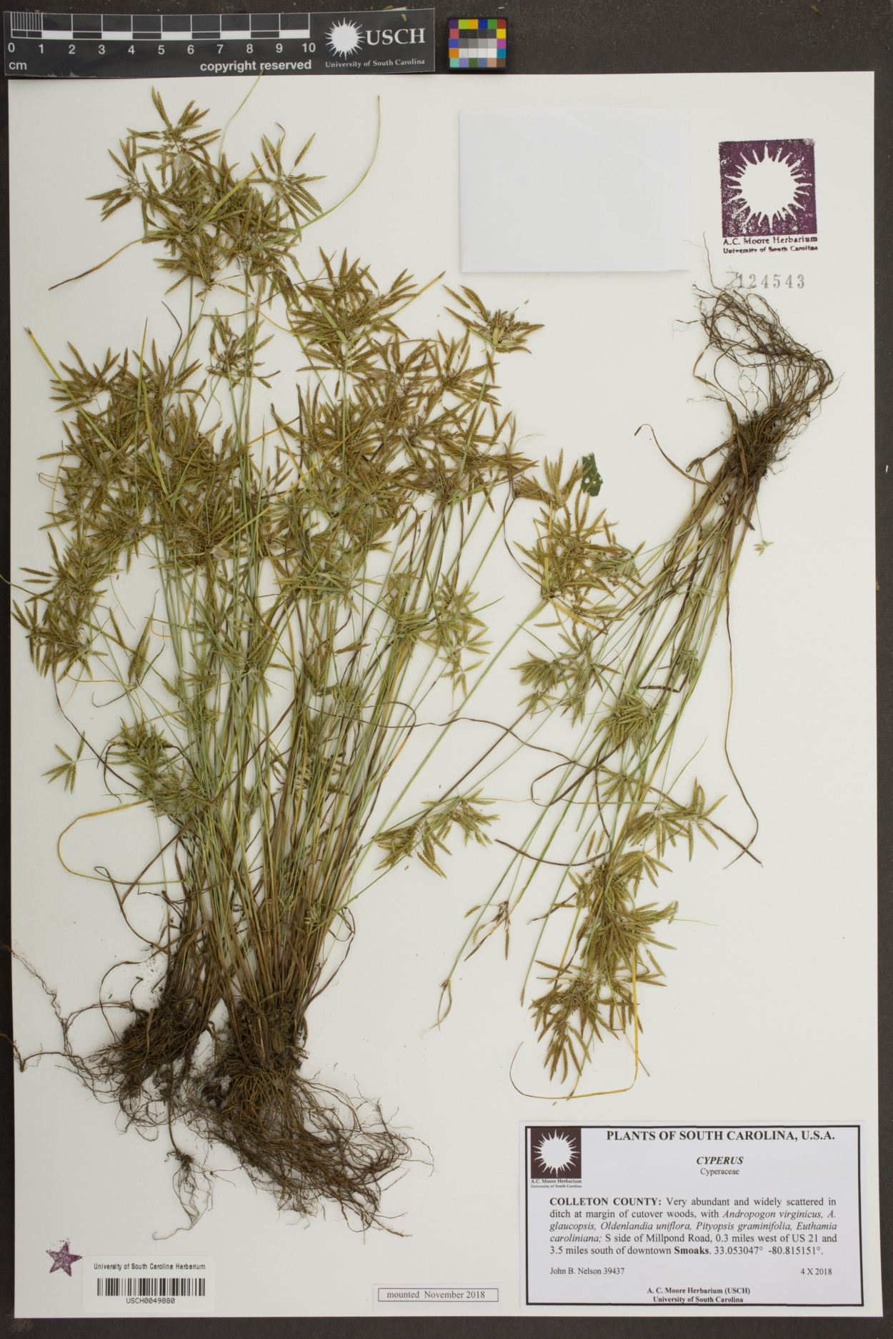 Cyperus image