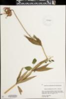 Lilium michiganense image