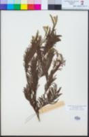 Acacia mearnsii image