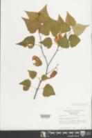 Betula populifolia image