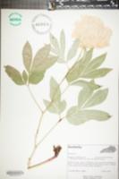 Paeonia lactiflora image