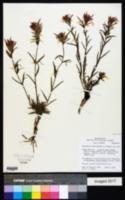Castilleja dissitiflora image