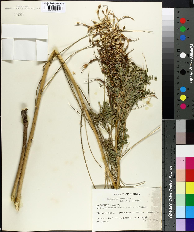 Sophora alopecuroides image