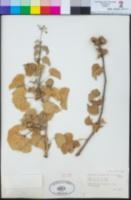 Jatropha cinerea image