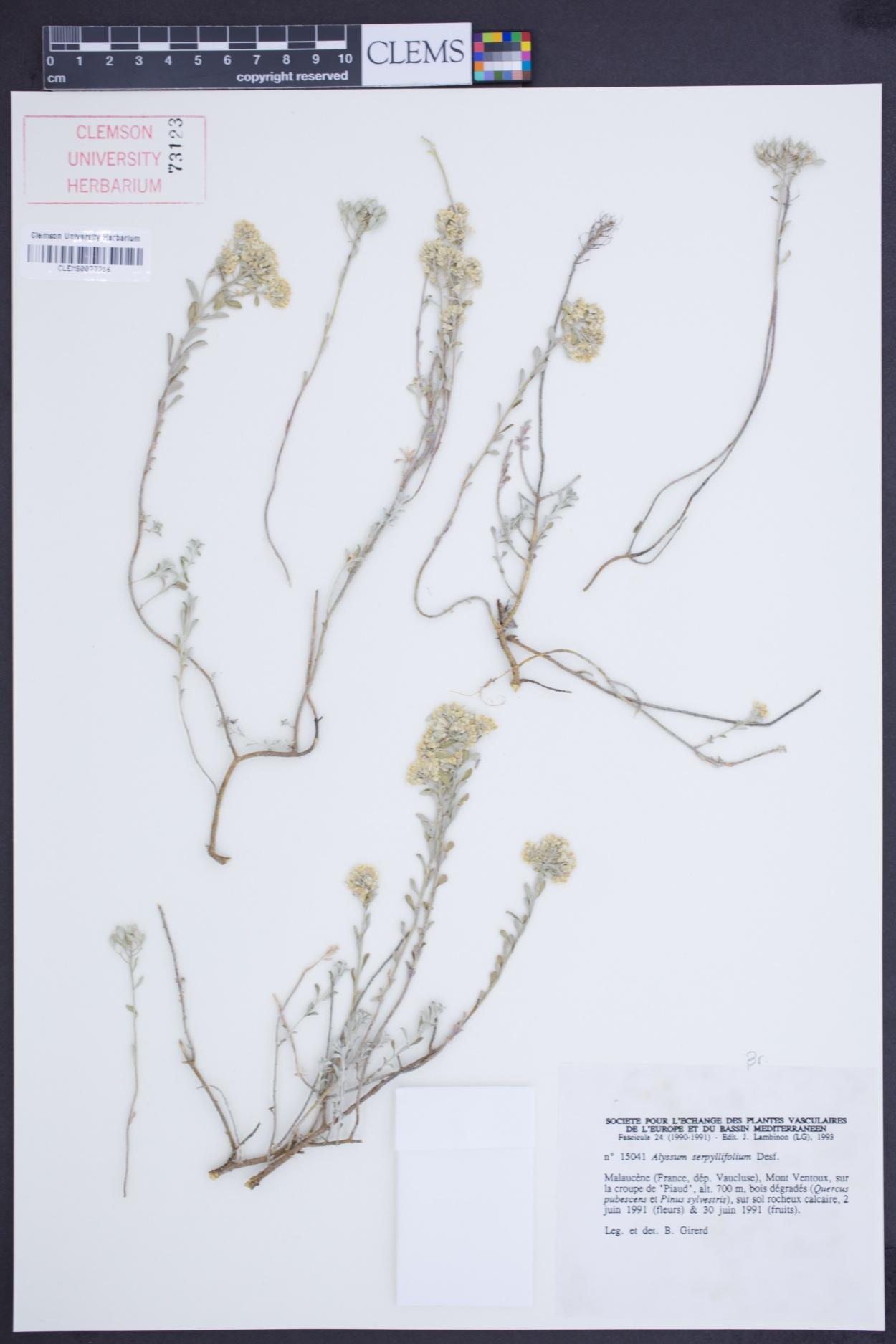 Alyssum serpyllifolium image