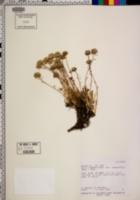 Gilia crebrifolia image