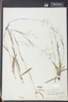 Dichanthelium ovale image